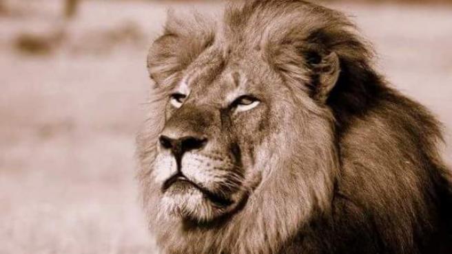 Cecil el león, un icono del parque Hwange.