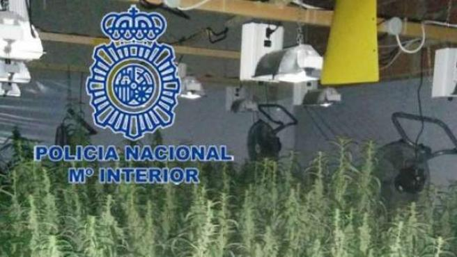 Plantación de marihuana descubierta por la Policía.