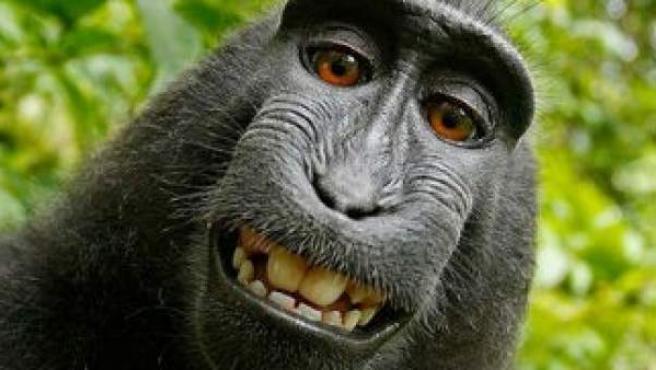 'Selfie' de un macaco negro en Indonesia.