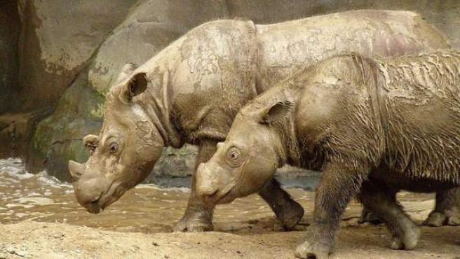 Dos ejemplares de rinoceronte de Sumatra.