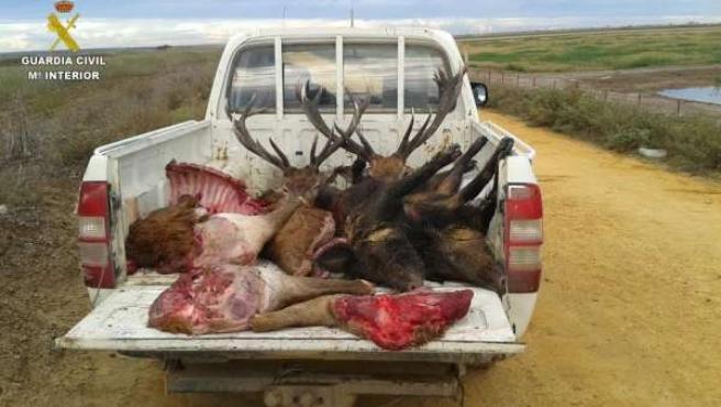Piezas de caza furtiva interceptadas en Doñana.