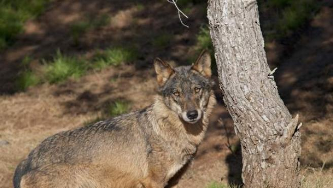 El lobo ibérico se recupera en Zamora.
