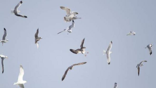 Un grupo de gaviotas, en una imagen de archivo.