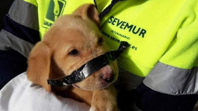 Un veterianario sostiene al cachorro amordazado encontrado en la basura.