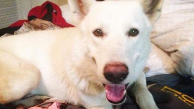 Imagen del perro Hank, que recorrió varios kilómetros para estar con su primera 'madre' de acogida.