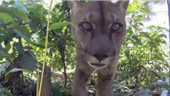 Mufasa, el puma liberado tras 20 años de cautiverio y con cadenas en un circo peruano.