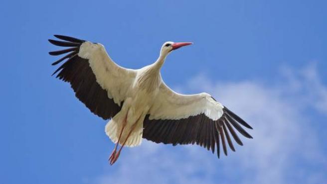 Imagen de una cigüeña blanca en pleno vuelo.