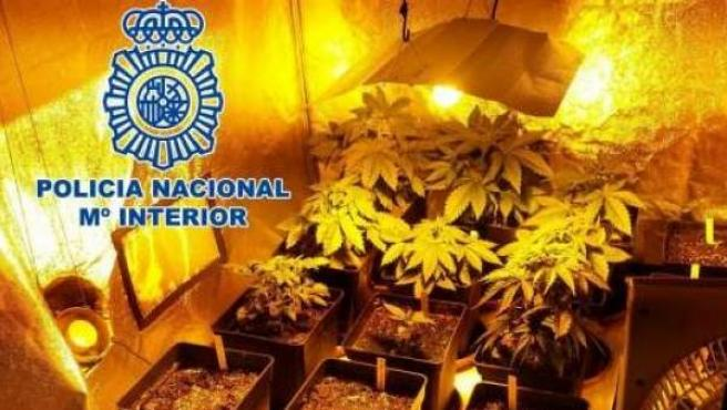 La Policía se incauta de 850 plantas de marihuana en un chalé de Gijón