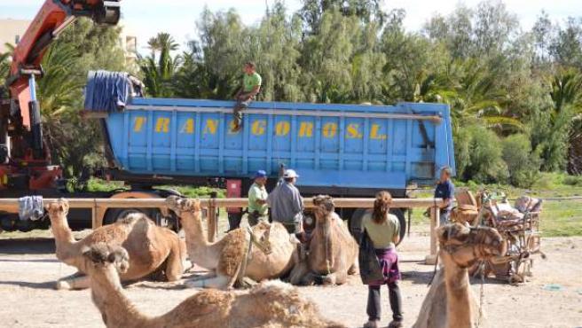 Fotos Logistica Camellos