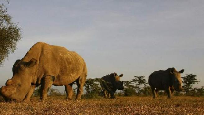 Estos son los únicos tres rinocerontes blancos del norte que quedan en el mundo: viven en el parque Ol Pejeta.