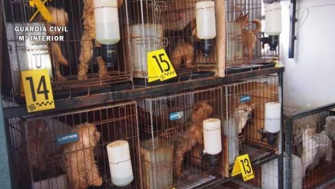 """Detenido en Don Benito un hombre que tenía 55 perros hacinados y en """"pésimas condiciones"""""""