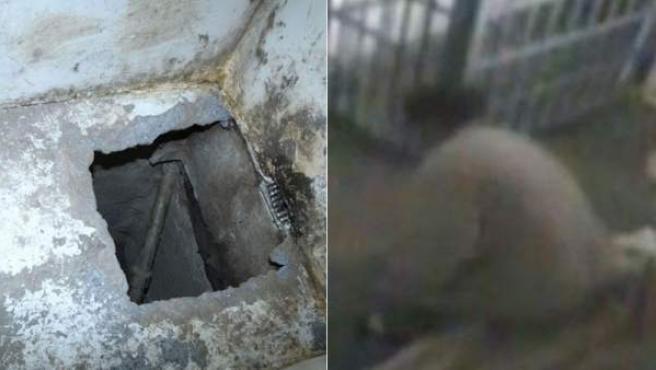 Combo de imágenes de 'El Chapo Guzmán' en prisión, poco antes de fugarse por un túnel (izquierda) de la prisión de máxima seguridad Almoloya de Juárez.