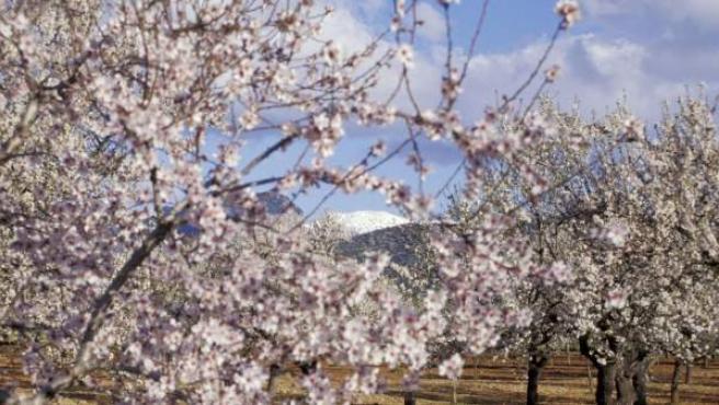 Imagen de archivo de unos almendros en flor.