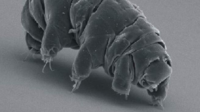 Una imagen con microscopio electrónico de un tardígrado, conocido como oso de agua.