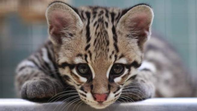 Un ocelote llamado Diego, que nació el pasado 10 de marzo, es fotografiado en el zoológico de Berlín, Alemania.