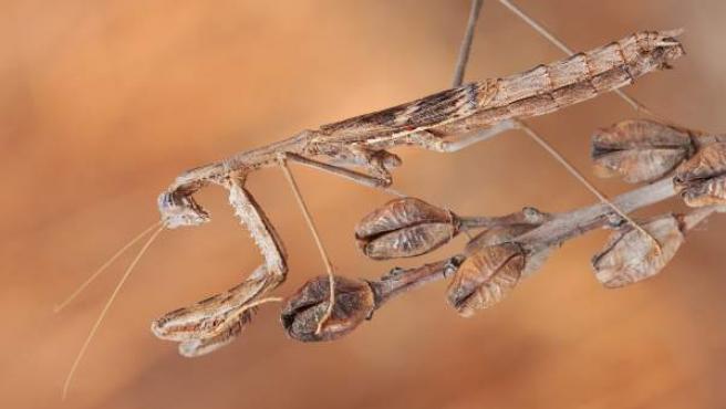 Un ejemplar de mantis Rivetina Baetica