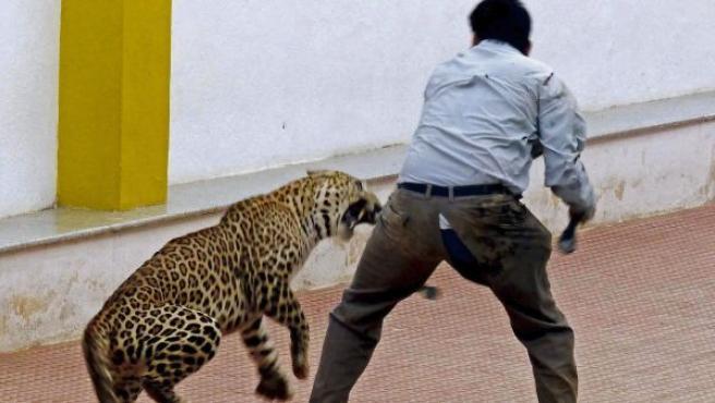 Un hombre intenta capturar a un leopardo en una escuela de Bangalore, sur de la India. El felino, que permaneció casi 14 horas en la escuela, hirió a tres personas que participaron en su captura.