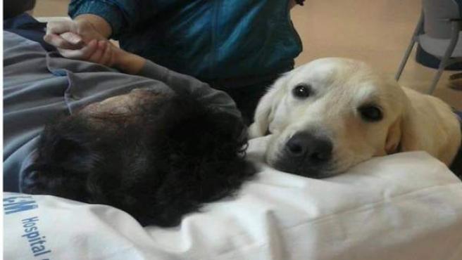 Uno de los perros de terapia de Yaracán acompañando a un paciente en el Hospital de Torrejón.