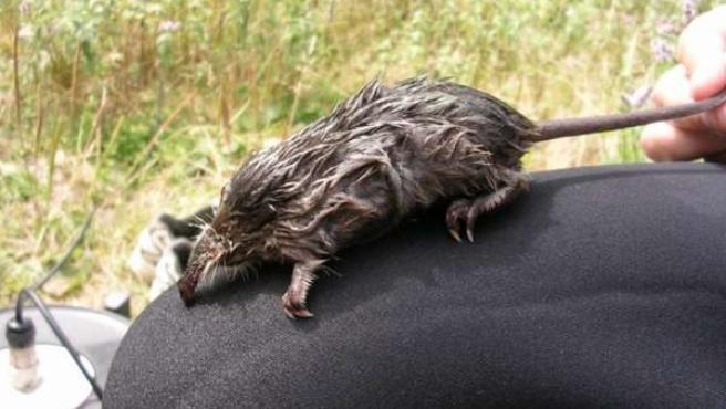 Endesa Y El Parque Natural Del Alt Pirineu Prolongan Su Estudio Sobre La Rata Al