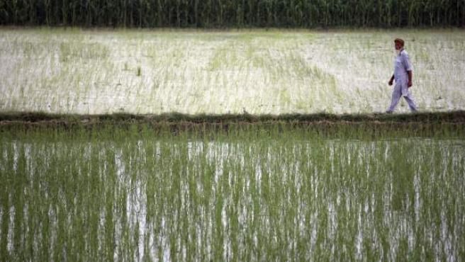 Un agricultor indio inspecciona su arrozal a las afueras de Amritsar (India).