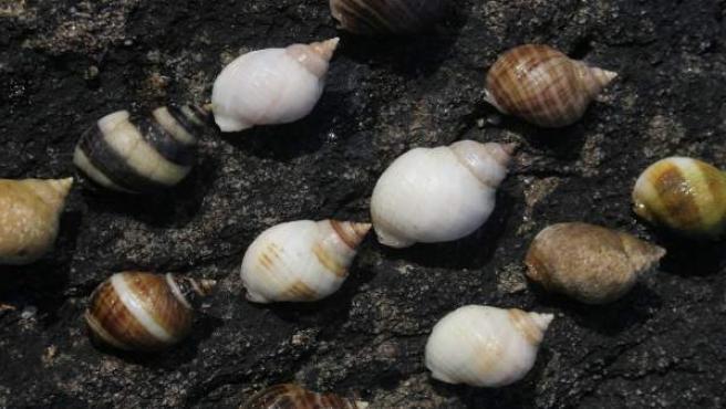 Ejemplares de Nucella lapillus, caracoles marinos.