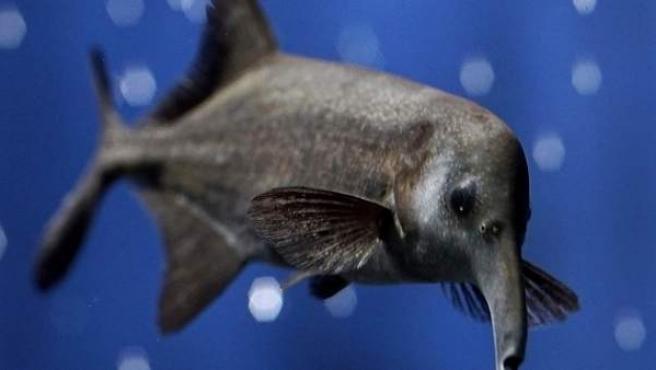 El pez nariz elefante ('Gnathonemus petersii'), en una imagen de archivo.