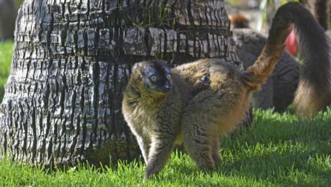 Nacimiento de un lémur frentirrojo
