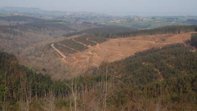 Explotación forestal de eucaliptos en el norte de España.