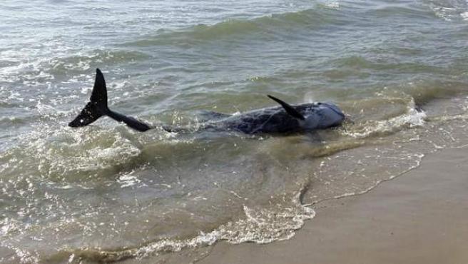 Uno de los dos delfines calderón que han sido avistados en la playa del Grao de Burriana (Castellón).