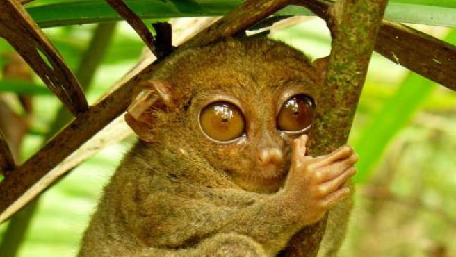 El tarsero filipino, un primate considerado en riesgo de extinción desde el año 2000.