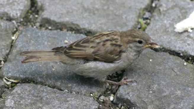 El gorrión es una de las aves más conocidas al ser frecuente verlo en las ciudades, pues está bien adaptado a vivir cerca del ser humano. Pesa unos 30 g y mide de 14 a 16 cm de longitud.