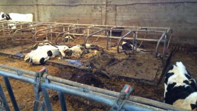 La Guardia Civil inmoviliza una granja en Chantada tras localizar vacas muertas