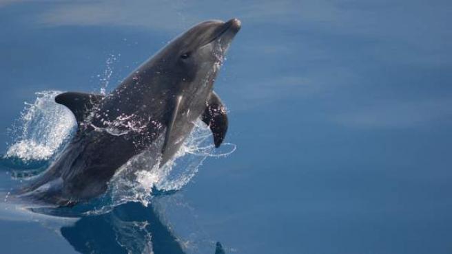 Un delfín de nariz de botella o mular.
