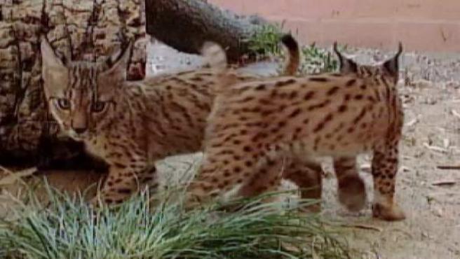 Cachorros de lince ibéricos nacidos en 2005 en Doñana.