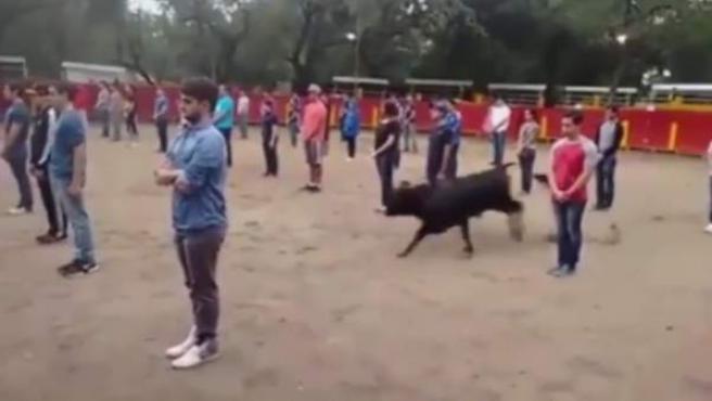 Uno de los momentos del vídeo en el que el toro esquiva a las personas presentes en la plaza y busca un hueco para escapar.