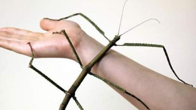 Imagen del insecto más largo del mundo, descubierto en China.