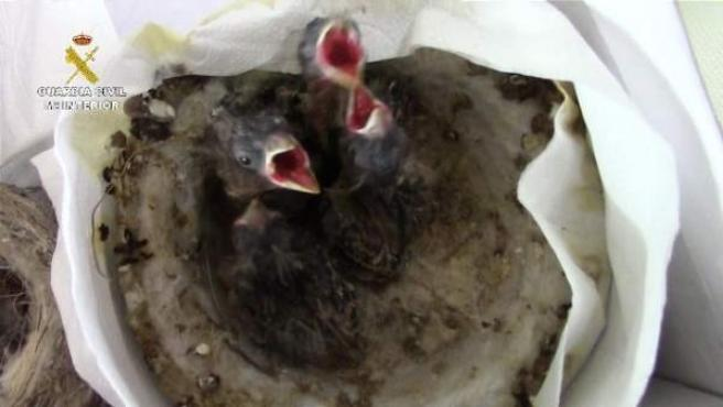 Aves intervenidas en una operación de la Guardia Civil