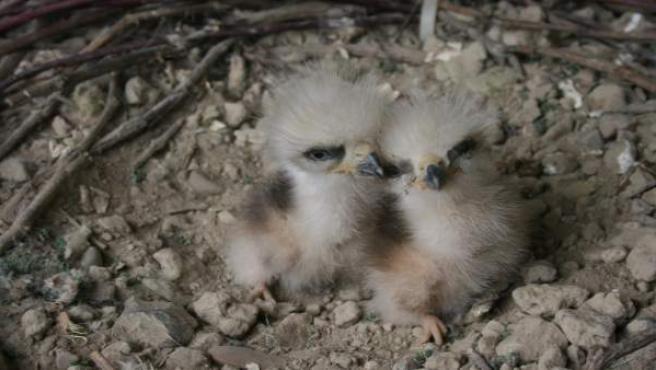 Pollos nacidos la semana pasada en el programa de cría.