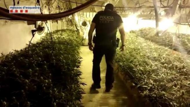 Los Mossos incautan casi 2.000 plantas de marihuana