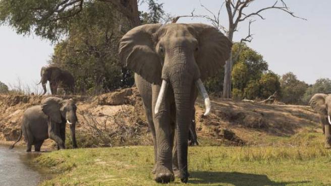 Elefantes en el río Zamberi, en Zimbabue.