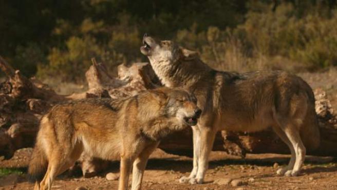Dos lobos en Antequera (Málaga)