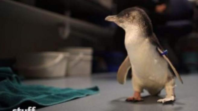 Bagpipes, el pingüino que vuelve a andar gracias a una impresora 3D.