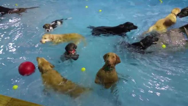 Imagen del perro que permanece inmóvil en una piscina mientras el resto de los animales a su alrededor juegan en el agua.
