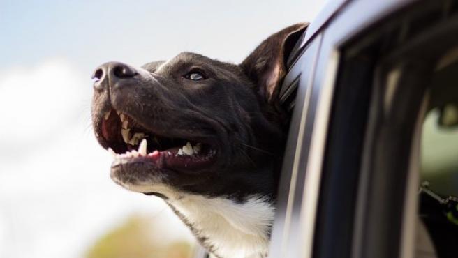 Dejar que los perros se asomen por la ventanilla es un grave error que puede costar muy caro.