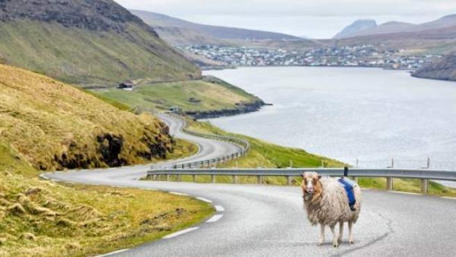 Una de las ovejas con la cámara en el lomo para poder dibujar el mapa más preciso de las Islas Feroe.