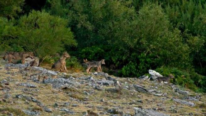 Una manada de lobos en el monte.