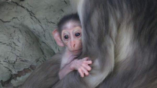 La madre de la cría es la Mónika, una hembra nacida también en Barcelona en 2009 que tuvo su primera hija el año pasado.