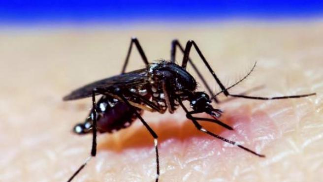 Mosquito A. Aegypti, dengue, zika, chikungunya