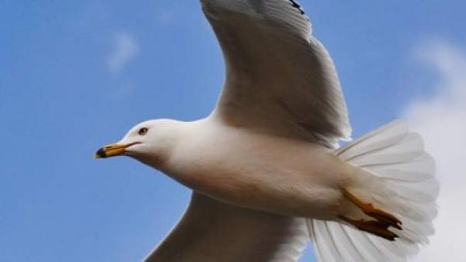 Imagen de una gaviota en pleno vuelo.
