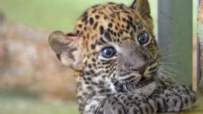 Una cría de leopardo de Sri Lanka.